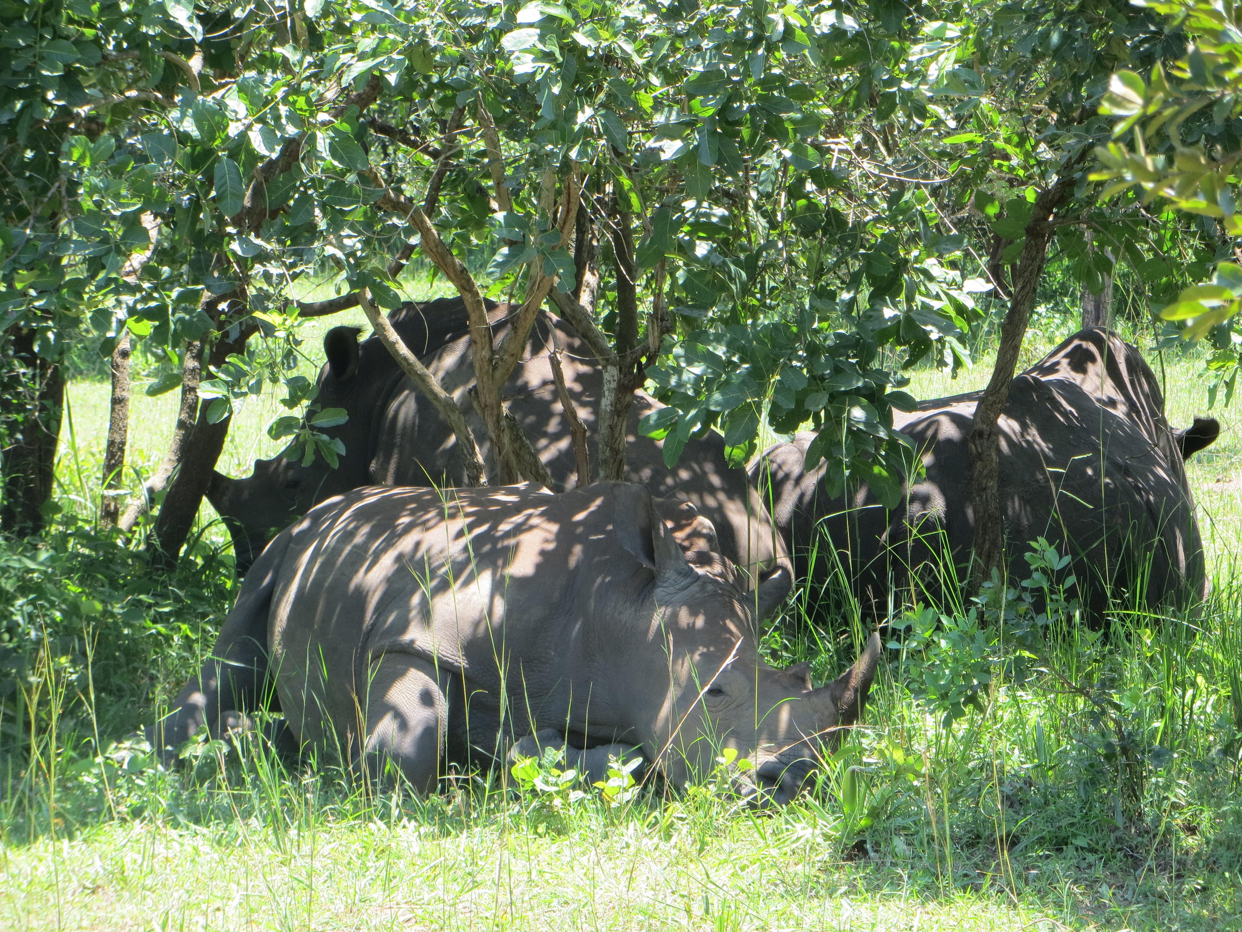 Schlafende Nashörner-Gruppe